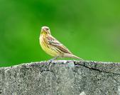 金鵐 Yellow-breasted Bunting  :DSC_6400.JPG