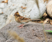 黃喉鵐  Yellow-throated Bunting:DSC_2561.JPG