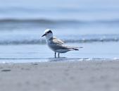 小燕鷗  Little Tern  :DSC_4329.JPG