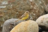 金鵐 Yellow-breasted Bunting  :DSC_7207.JPG