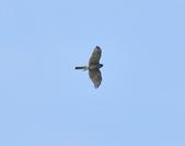 北雀鷹  Northern Sparrow Hawk  :DSC_6156.JPG