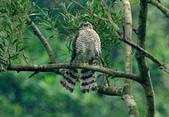 北雀鷹  Northern Sparrow Hawk :DSC_1453.JPG