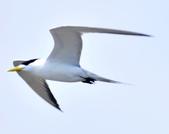 鳳頭燕鷗  Greater Crested Tern :DSC_9016.JPG