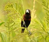 黑頭文鳥:DSC_5220.JPG