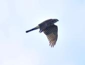 日本松雀鷹Japanese Lesser Sparrow Hawk :DSC_9167.JPG
