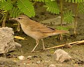 北蝗鶯:DSC_6991.JPG