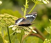 蝴蝶:DSC_5982.JPG