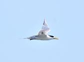 鳳頭燕鷗  Greater Crested Tern :DSC_9037.JPG