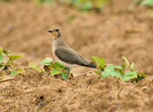 燕鴴 Large Indian Pratincole :DSC_2584.JPG