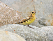 金鵐 Yellow-breasted Bunting  :DSC_7185.JPG