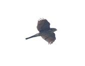 日本松雀鷹Japanese Lesser Sparrow Hawk :DSC_9174.JPG
