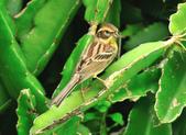 黃喉鵐Yellow-throated Bunting :DSC_9971.JPG
