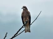 老鷹   Black kite :DSC_1413.JPG