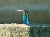 翠鳥  Common Kingfisher   :DSC_2369.JPG