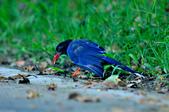 台灣藍鵲  Taiwan Blue Magpie :DSC_2308.JPG