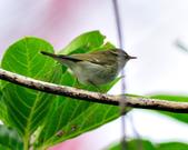 極北柳鶯Arctic Warbler   :DSC_3760.JPG