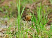金翅雀  Oriental Greenfinch :DSC_0481.JPG