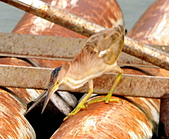 黃小鷺:DSC_4921.JPG