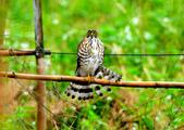 松雀鷹Besra sparrow hawk :DSC_1439.JPG