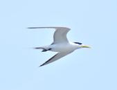 鳳頭燕鷗  Greater Crested Tern :DSC_9047.JPG