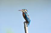 翠鳥  Common Kingfisher  :DSC_2470.JPG