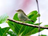 極北柳鶯Arctic Warbler   :DSC_3773.JPG