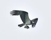 魚鷹 Osprey   :DSC_4305.JPG