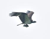 魚鷹 Osprey   :DSC_4310.JPG
