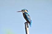 翠鳥  Common Kingfisher  :DSC_2474.JPG
