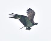 魚鷹 Osprey   :DSC_4312.JPG