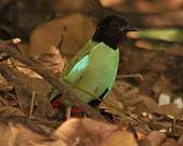 黑頭〈綠胸〉八色鳥:DSC_2168.JPG