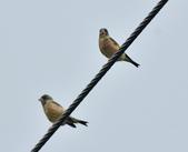 金翅雀  Oriental Greenfinch     :DSC_5343.JPG