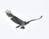 魚鷹 Osprey   :DSC_4315.JPG