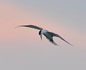 鳳頭燕鷗:DSC_7137.JPG