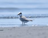 小燕鷗  Little Tern  :DSC_4328.JPG