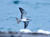 白眉燕鷗Bridled Tern :DSC_0417.JPG