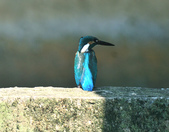 翠鳥  Common Kingfisher   :DSC_2373.JPG
