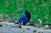 台灣藍鵲  Taiwan Blue Magpie :DSC_2324.JPG