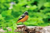 黃尾鴝 Daurian Redstart  :DSC_2469.JPG
