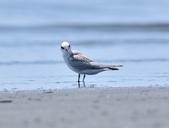 小燕鷗  Little Tern  :DSC_4332.JPG