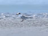 小燕鷗  Little Tern  :DSC_4343.JPG