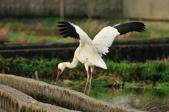 白鶴  Siberian Crane :DSC_0035.JPG
