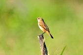 黑喉鴝Common Stonechat  :DSC_9426.JPG