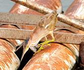 黃小鷺:DSC_4923.JPG