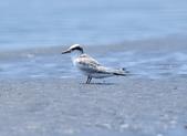 小燕鷗  Little Tern  :DSC_4346.JPG