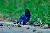 台灣藍鵲  Taiwan Blue Magpie :DSC_2326.JPG