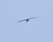 日本松雀鷹Japanese Lesser Sparrow Hawk  :DSC_6091.JPG