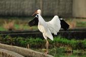 白鶴  Siberian Crane :DSC_0047.JPG