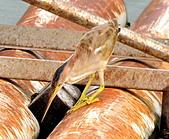 黃小鷺:DSC_4924.JPG