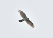 北雀鷹  Northern Sparrow Hawk  :DSC_1001.JPG